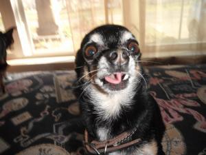 Aye Chihuahua