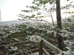 Dogwood blooming at the Cabin