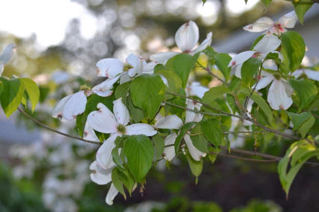 Dogwoods are blooming